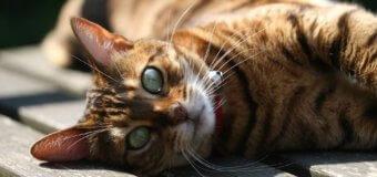 Le magazine d'informations et d'actualités sur les chats